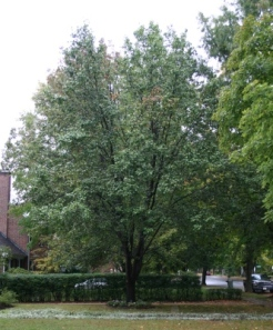 Bradford Pear beside Sugar Maple