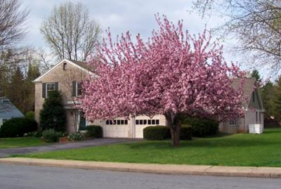 crab apple tree in bloom