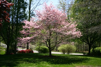 Pink Dogwood in bloom and beautifully pruned.
