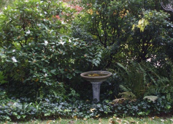 Evergreen Shrubs beside a Bird Bath