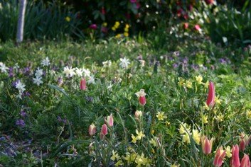 Bulbs Naturalized in a Meadow
