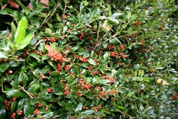 Dwarf Burford Holly with Berries