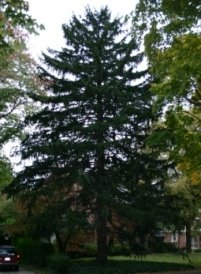 Norway Spruce with Sugar Maples